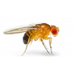 Frugtflue